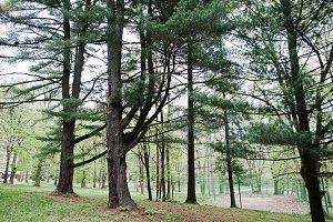 Pine forest at Transcarpathian mount