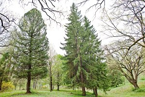 Tall spruce and pine trees on forest