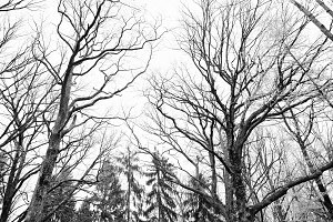 Bare high trees