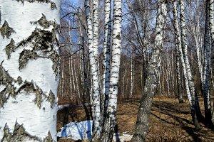 Spring. Birch forest.
