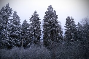 Winter. Russian forest in the snow.