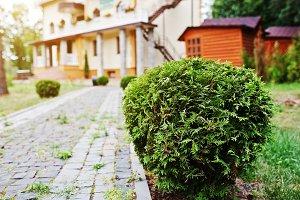 cedar bushes near path