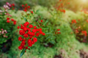 branch bloom small red roses