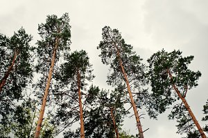 The tops of big pine trees