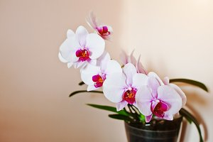 Pot of pink orchid