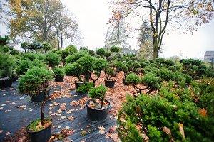 coniferous trees and white cedar