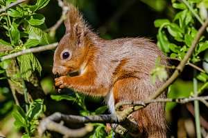 Endangered Red Squirrel