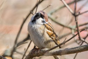 Passer domesticus on a branch