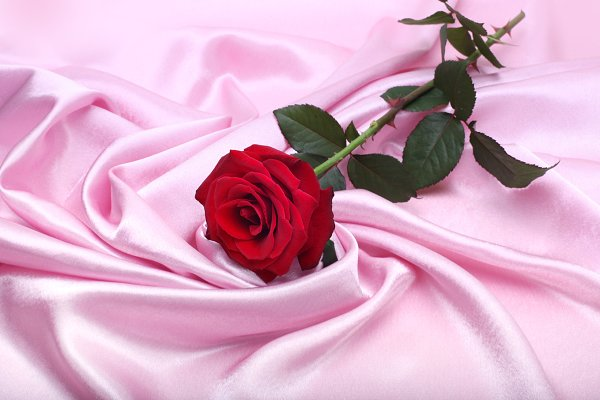 red rose on pink silk background