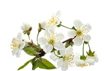 cherry twig in bloom isolated