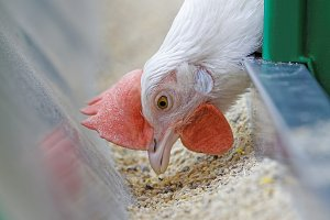 Purebred white chicken in a cage on the farm