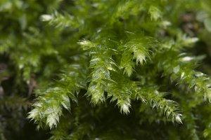 Moss (Hypnum cupressiforme)