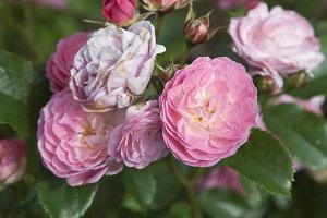 Rose flowers, close up