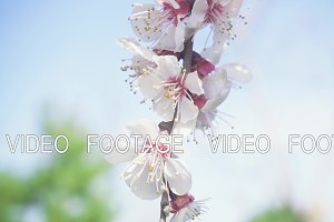 Branch with flowering buds slow motion
