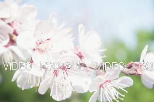 Beautiful branch of a tree with flowers slow motion