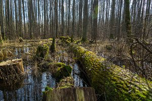 Flooded forest, died fallen tree