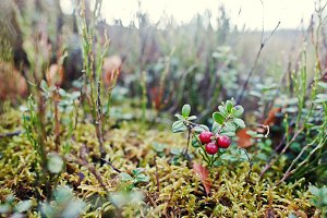 cowberry berries on mountain hill.
