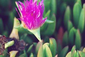 Purple Succulent Flower