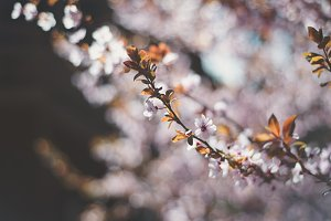 Pink Spring Blossoms 5