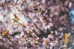 Pink Spring Blossoms 6