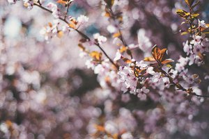 Pink Spring Blossoms 7