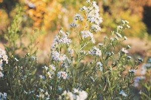Lavender Spring Blossoms