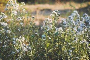 Lavender Spring Blossoms 2