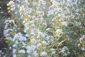 Lavender Spring Blossoms 4