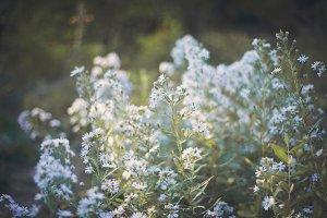 Lavender Spring Blossoms 6