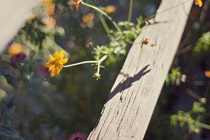 Orange Flower next to wood fence