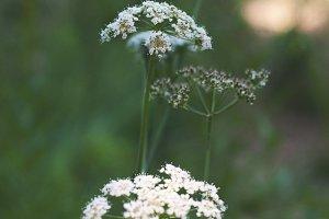 Wildflowers-white