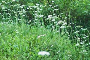 Wildflowers White