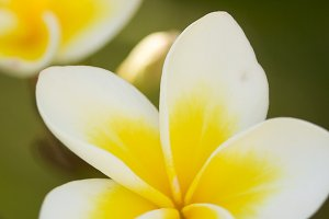 Yellow Tropical Plumeria Flowers