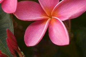 Pink Tropical Plumeria Flowers