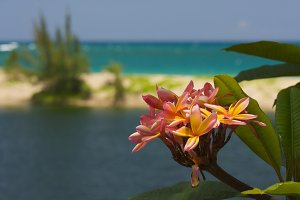 Wild Plumeria Flower Near the Ocean
