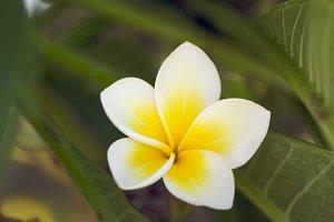 Yellow Tropical Plumeria Flower