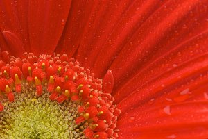 Macro of a Red Gerber Daisy with Dew