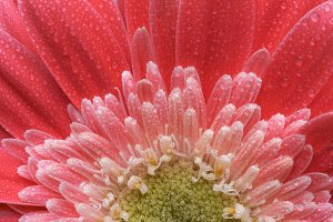 Macro of Pink Gerber Daisy with Dew