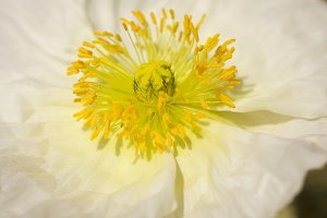 Macro of White Iceland Poppy Bloom