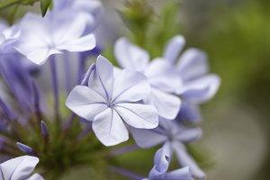 Purple Spring Flower Blossom Macro