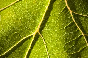 Dramatically Lit Grape Leaf Macro