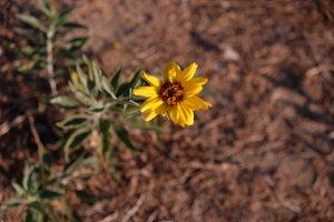 Blurred Sun Flower