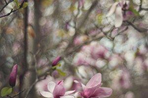 Pink Magnolia Trees
