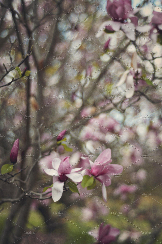 Pink Magnolia Trees High Quality Nature Stock Photos Creative