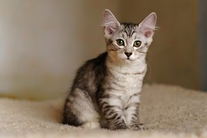 Lovely thoroughbred kitten