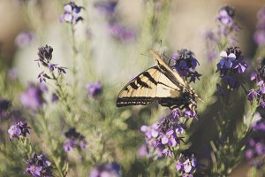 Yellow Tail Butterfly on Flowers