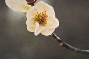 Single White Magnolia Blossom