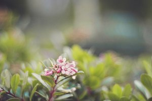 Small Pink Blossoms