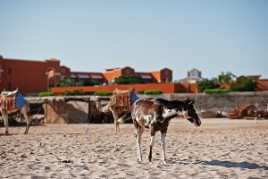 Small horse on the beach
