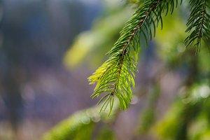 Beautiful fir tree twigs